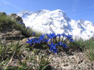 Enzian und Berge